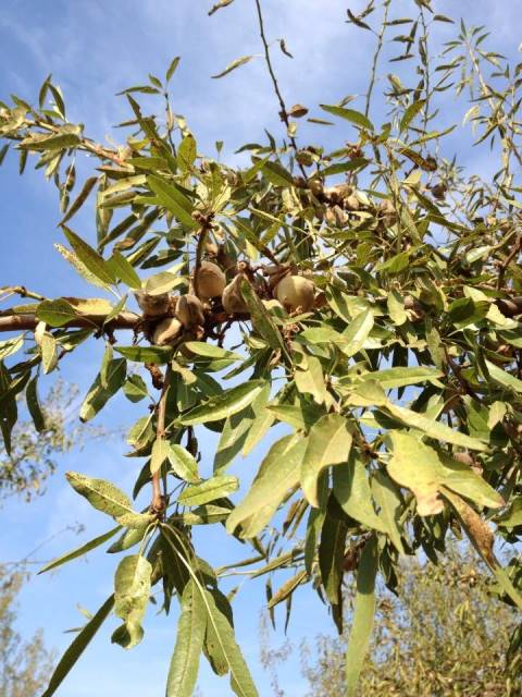 almond orchard tree