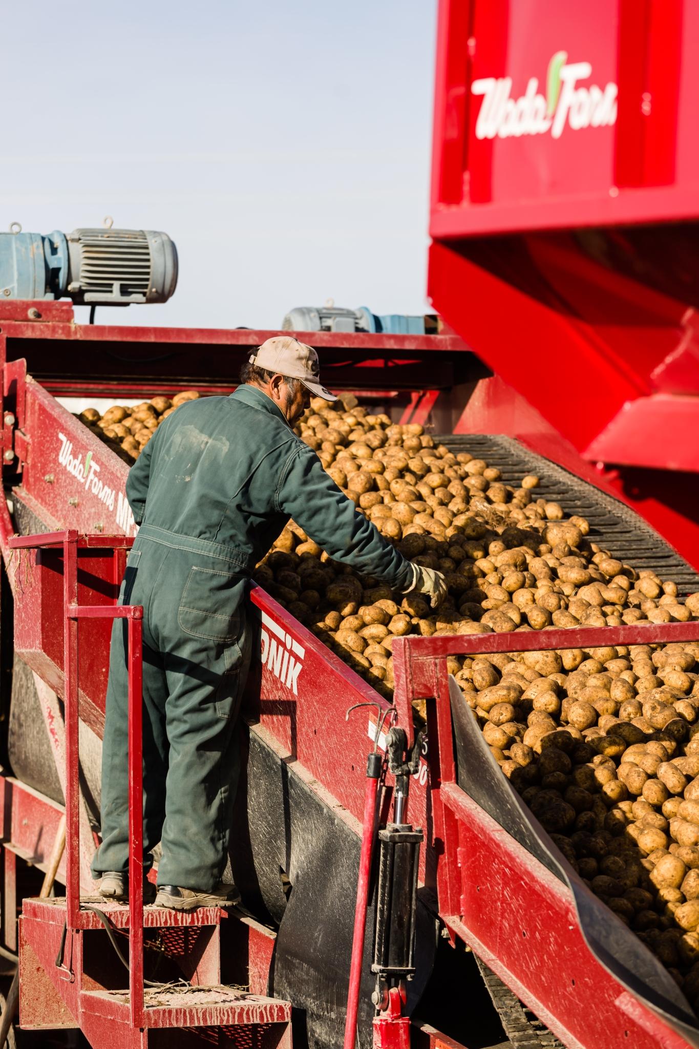 wadafarmsprocessingpotatoes